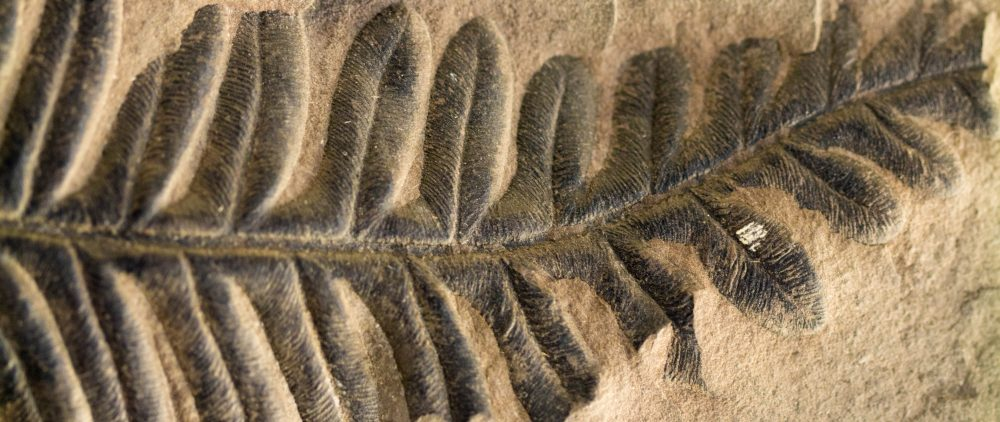 fossil fuels - fossilized fern leaf embedded in limestone